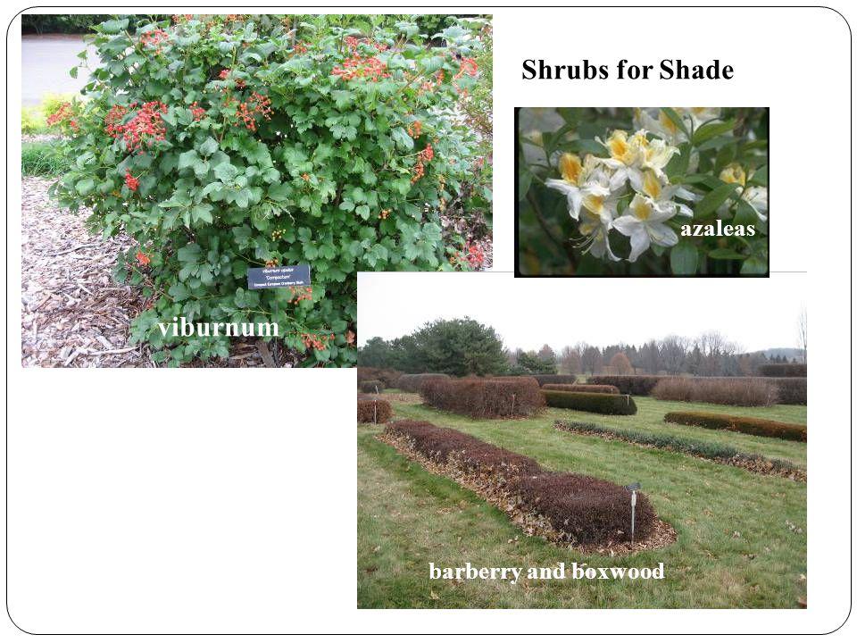 Shrubs for Shade viburnum barberry and boxwood azaleas