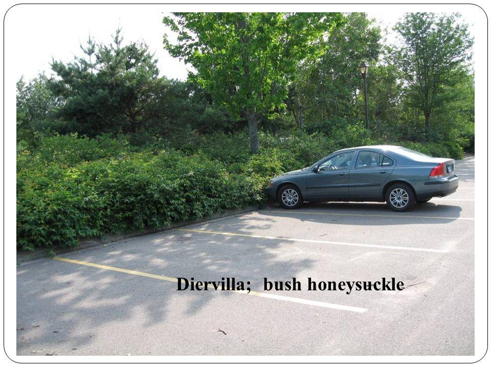 Diervilla; bush honeysuckle
