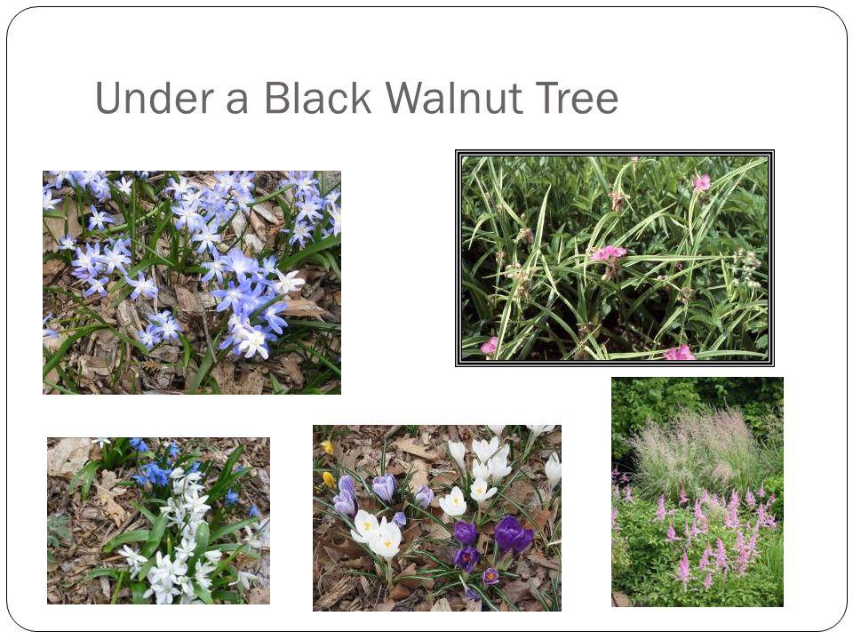 Under a Black Walnut Tree
