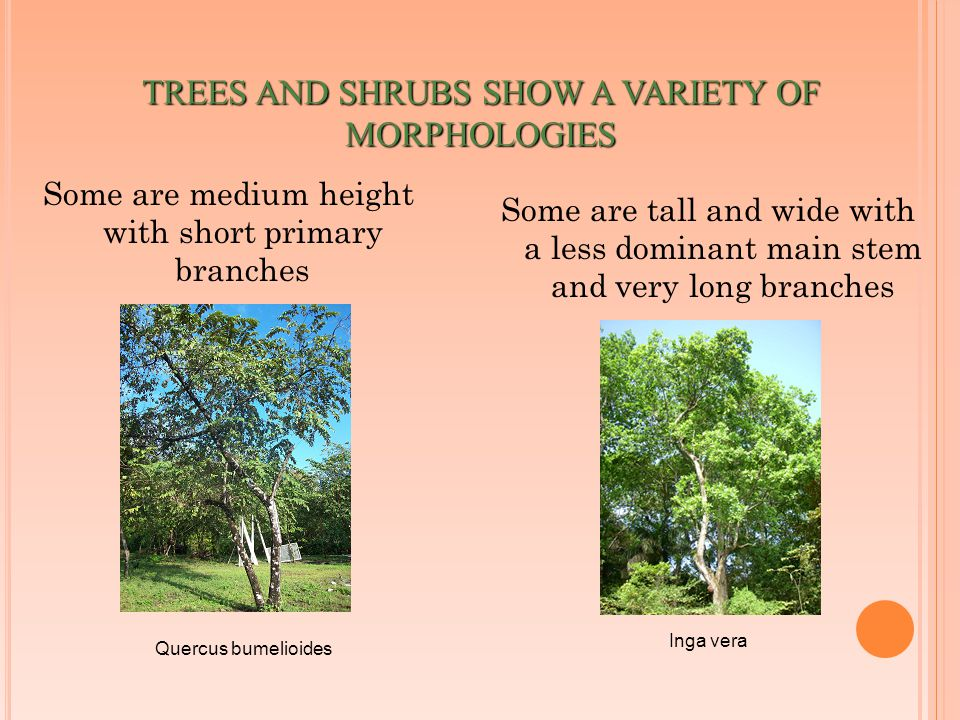 TREES AND SHRUBS SHOW A VARIETY OF MORPHOLOGIES Some are medium height with short primary branches Some are tall and wide with a less dominant main stem and very long branches Inga vera Quercus bumelioides
