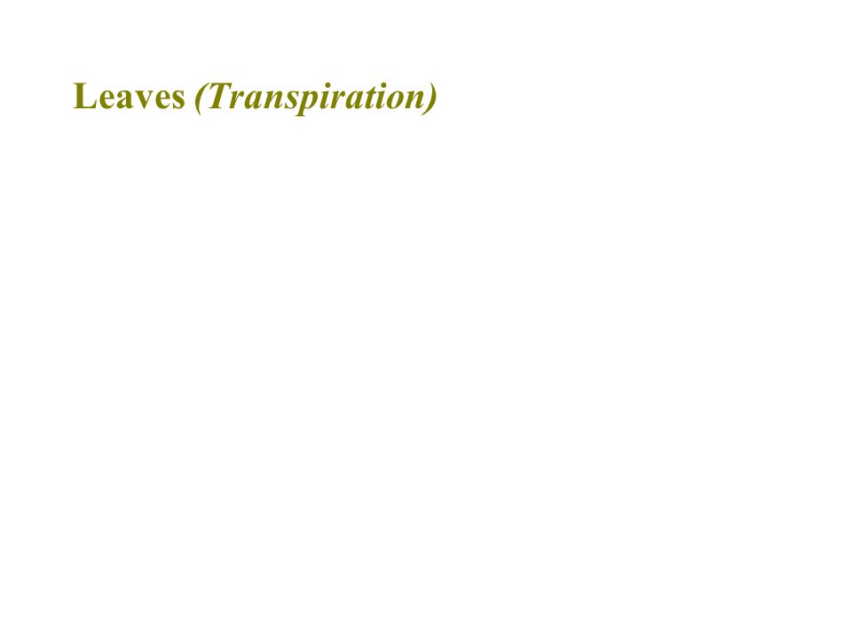 Leaves (Transpiration)