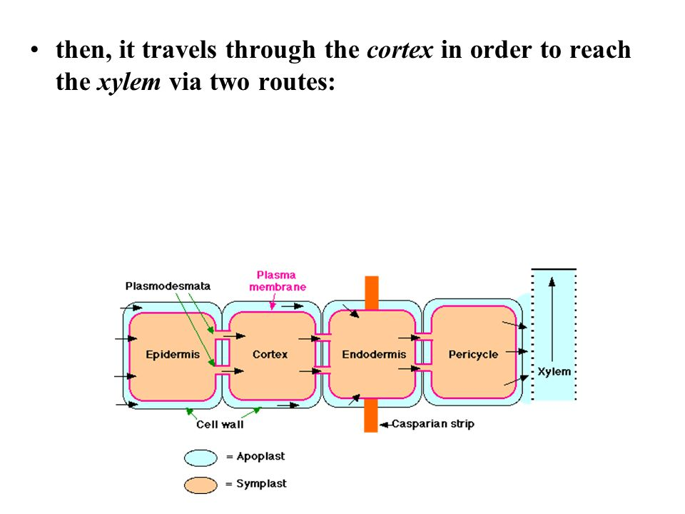 then, it travels through the cortex in order to reach the xylem via two routes: