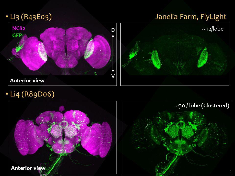 4 Janelia Farm, FlyLight NC82 GFP D V ~ 12/lobe Li3 (R43E05) ~30 / lobe (Clustered) Li4 (R89D06) Anterior view