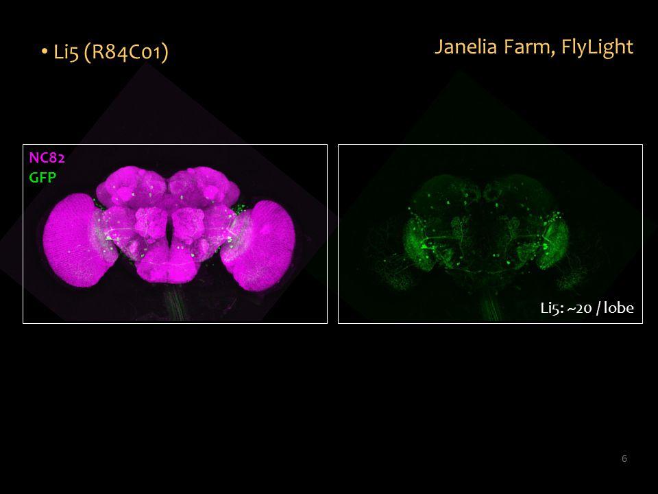 6 Li5 (R84C01) Janelia Farm, FlyLight Li5: ~20 / lobe NC82 GFP