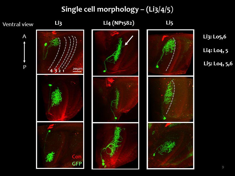 9 Single cell morphology – (Li3/4/5) Li3 Con GFP 34 1 2 Li4: Lo4, 5 20μm Li5 Ventral view A P Li3: Lo5,6 Li4 (NP1582) Li5: Lo4, 5,6