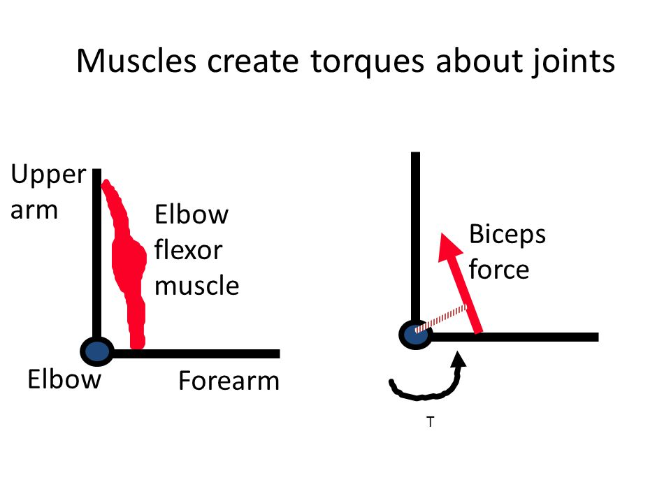 Muscles create torques about joints Elbow flexor muscle Elbow Upper arm Forearm Biceps force T