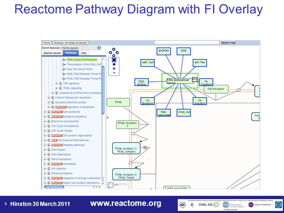 www.reactome.org Hinxton 30 March 2011 8 Reactome Pathway Diagram with FI Overlay