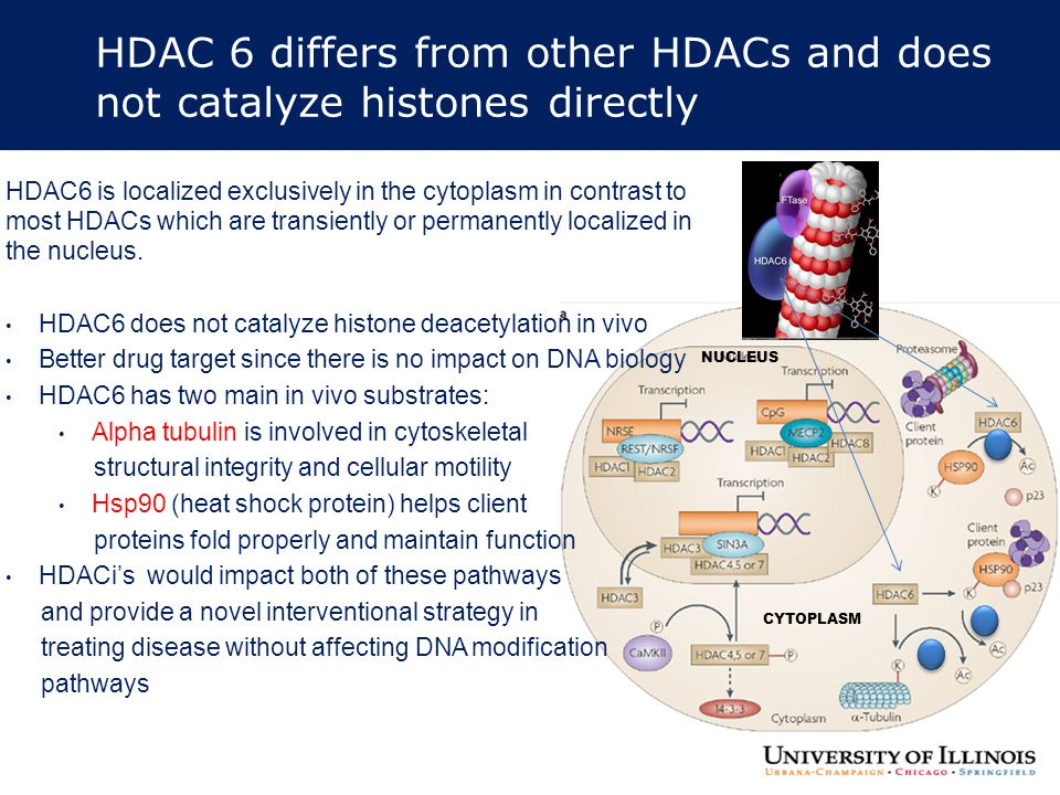 HDAC 6 differs from other HDACs and does not catalyze histones directly CYTOPLASM NUCLEUS HDAC6 is localized exclusively in the cytoplasm in contrast
