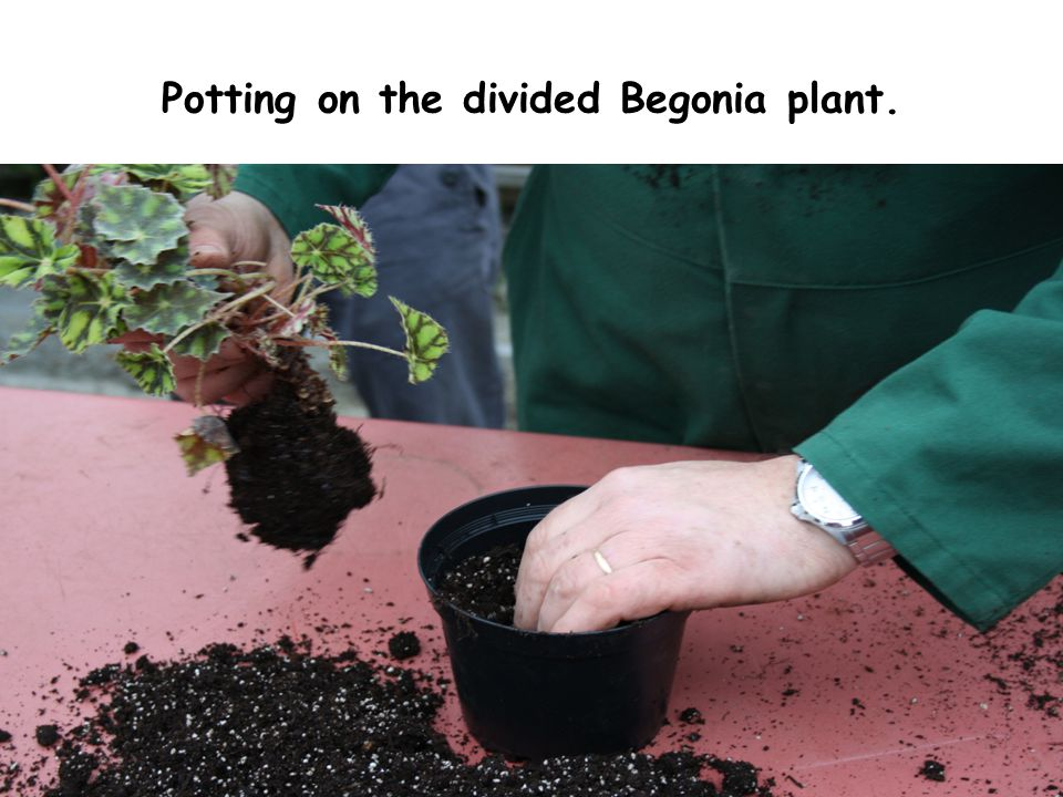 Potting on the divided Begonia plant.