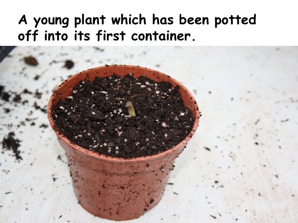 A young plant which has been potted off into its first container.