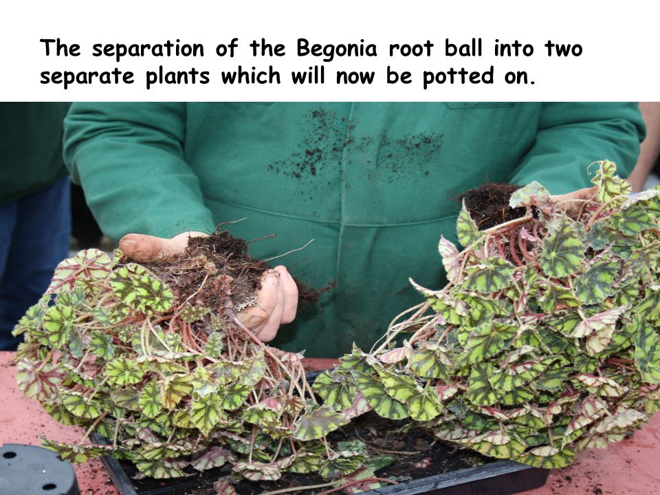The separation of the Begonia root ball into two separate plants which will now be potted on.