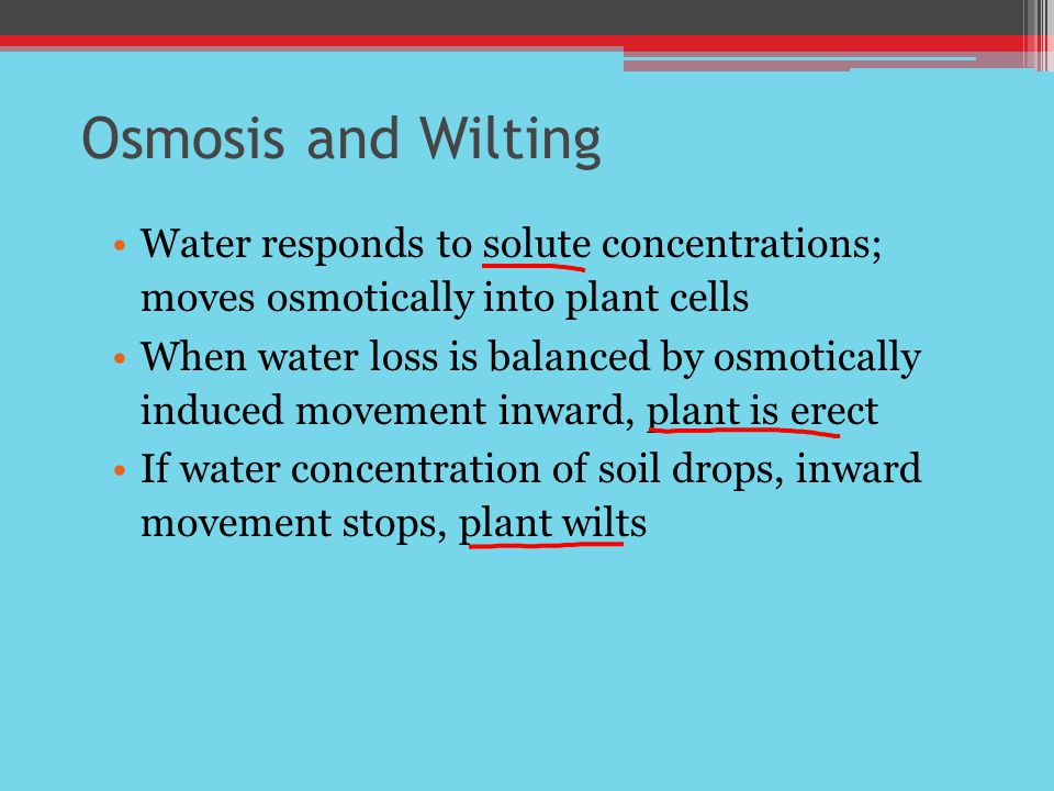 Osmosis and Wilting Water responds to solute concentrations; moves osmotically into plant cells When water loss is balanced by osmotically induced movement inward, plant is erect If water concentration of soil drops, inward movement stops, plant wilts