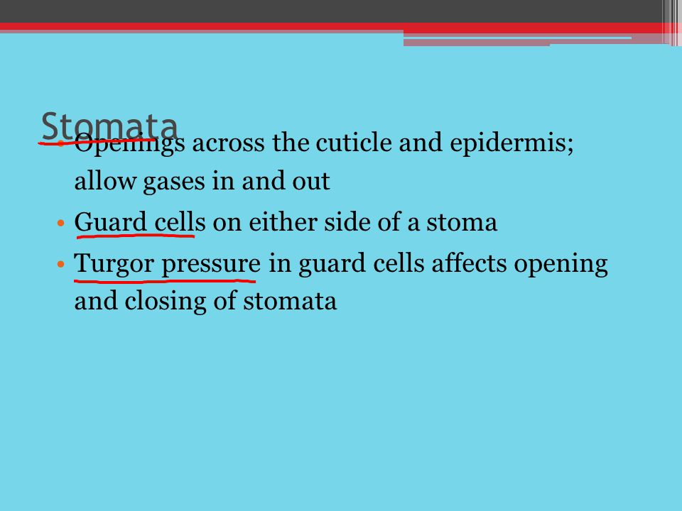 Stomata Openings across the cuticle and epidermis; allow gases in and out Guard cells on either side of a stoma Turgor pressure in guard cells affects opening and closing of stomata