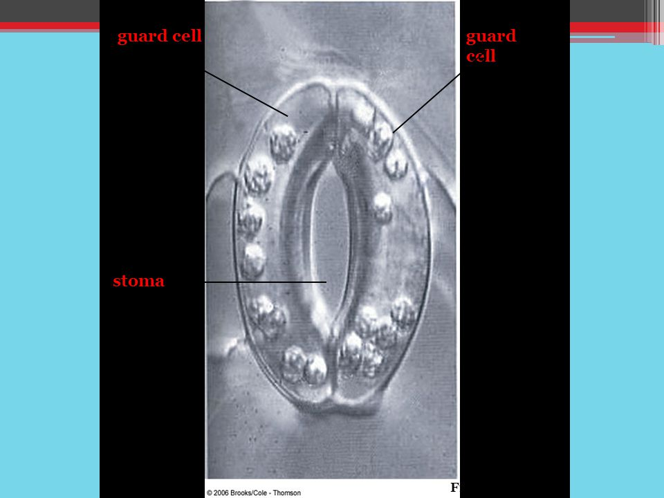 guard cell stoma Fig. 30-11a, p.519
