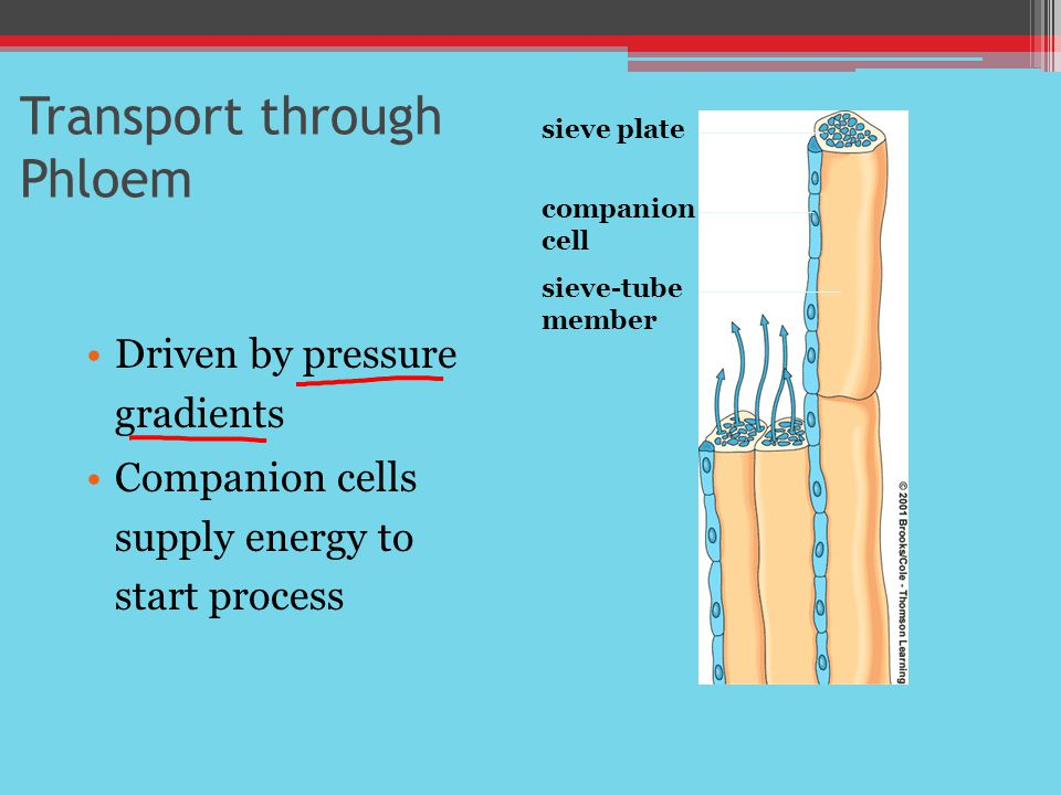 Transport through Phloem Driven by pressure gradients Companion cells supply energy to start process sieve plate companion cell sieve-tube member