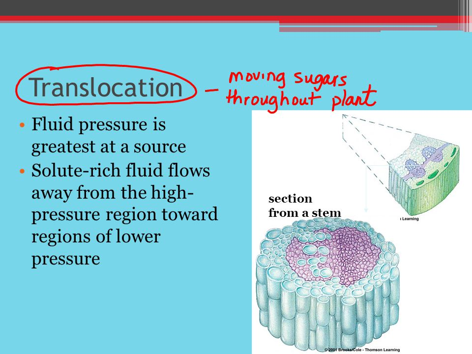 Translocation Fluid pressure is greatest at a source Solute-rich fluid flows away from the high- pressure region toward regions of lower pressure section from a stem