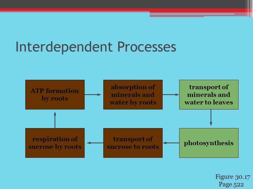 Interdependent Processes ATP formation by roots absorption of minerals and water by roots respiration of sucrose by roots transport of sucrose to roots transport of minerals and water to leaves photosynthesis Figure 30.17 Page 522