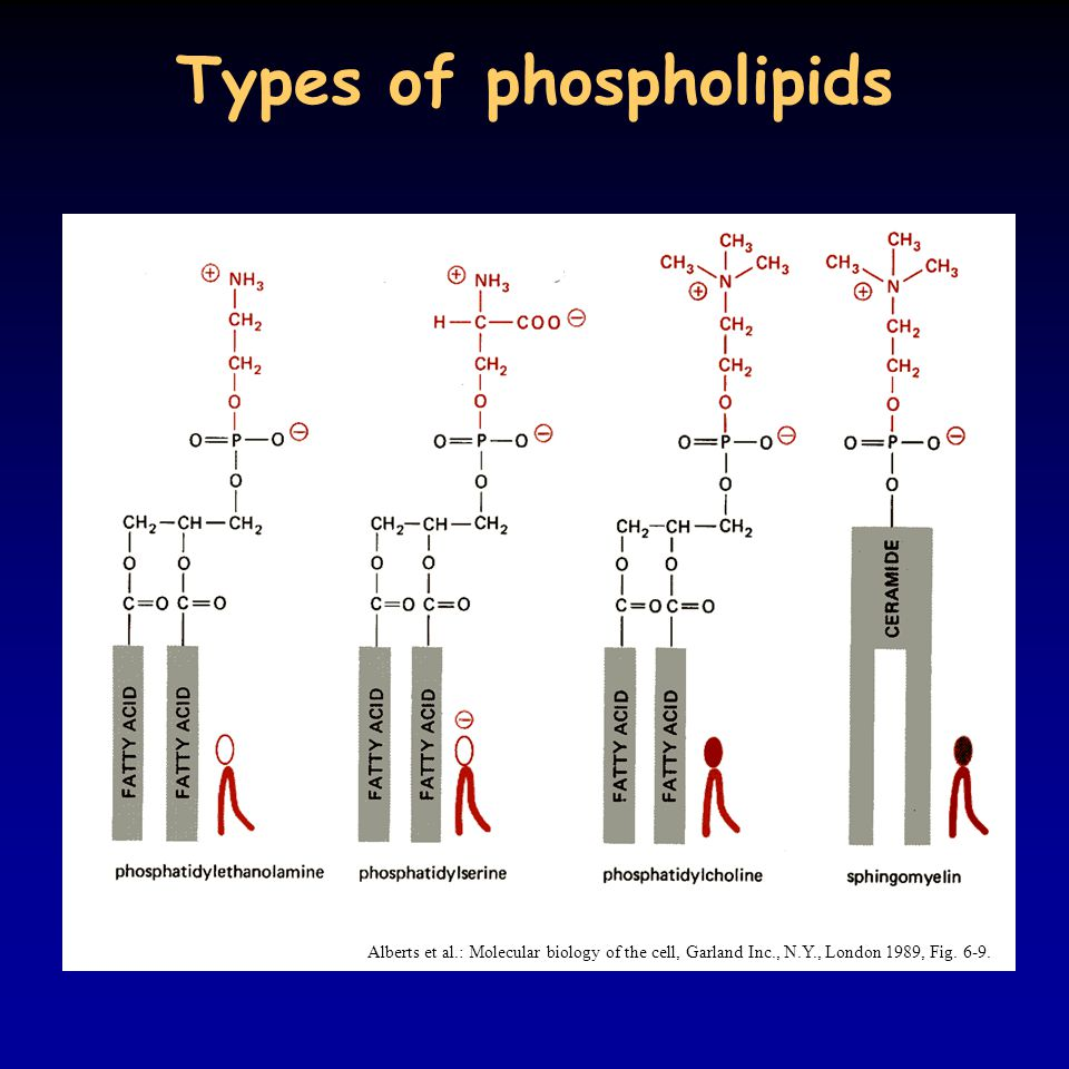 Types of phospholipids Alberts et al.: Molecular biology of the cell, Garland Inc., N.Y., London 1989, Fig.