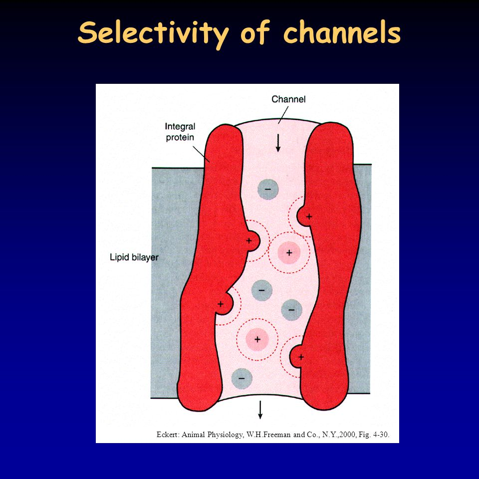 Selectivity of channels Eckert: Animal Physiology, W.H.Freeman and Co., N.Y.,2000, Fig. 4-30.