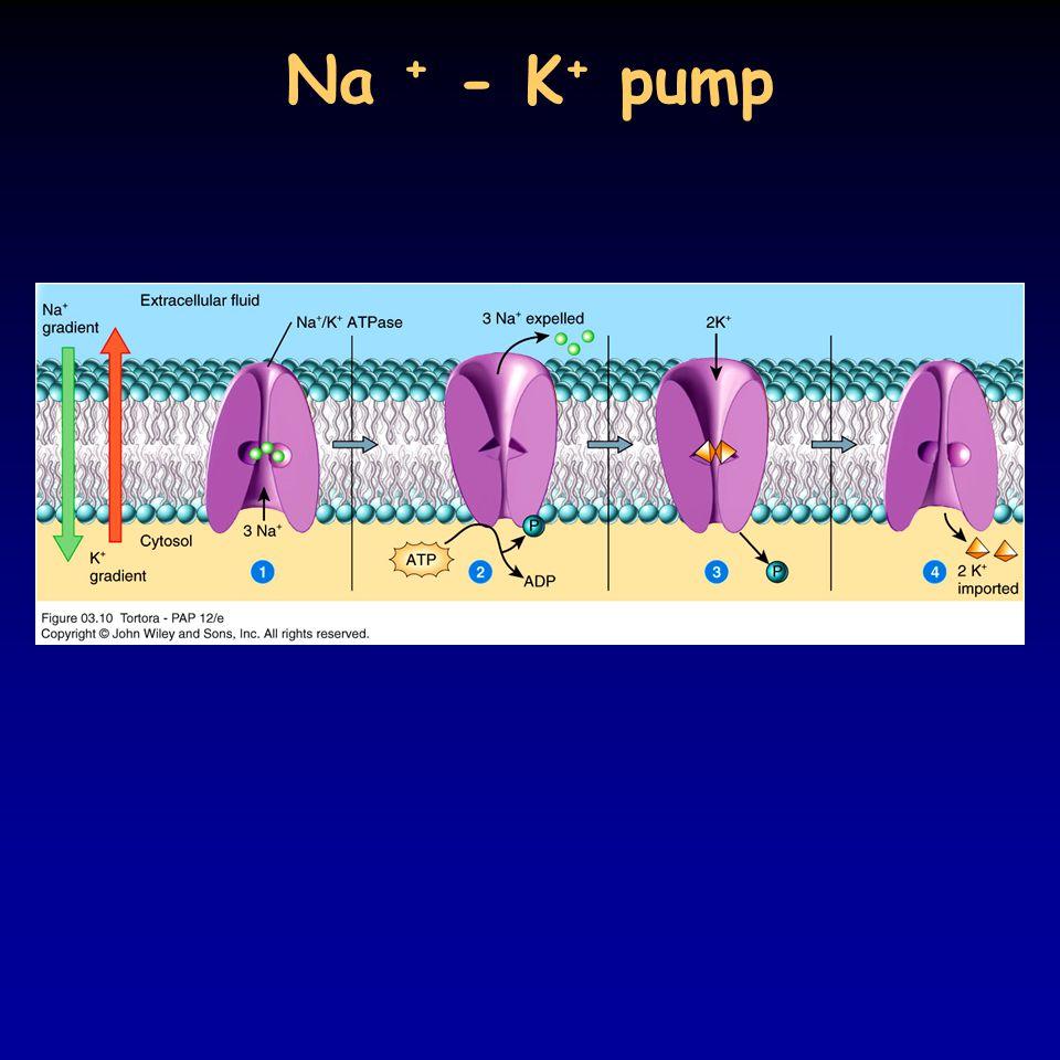 Na + - K + pump