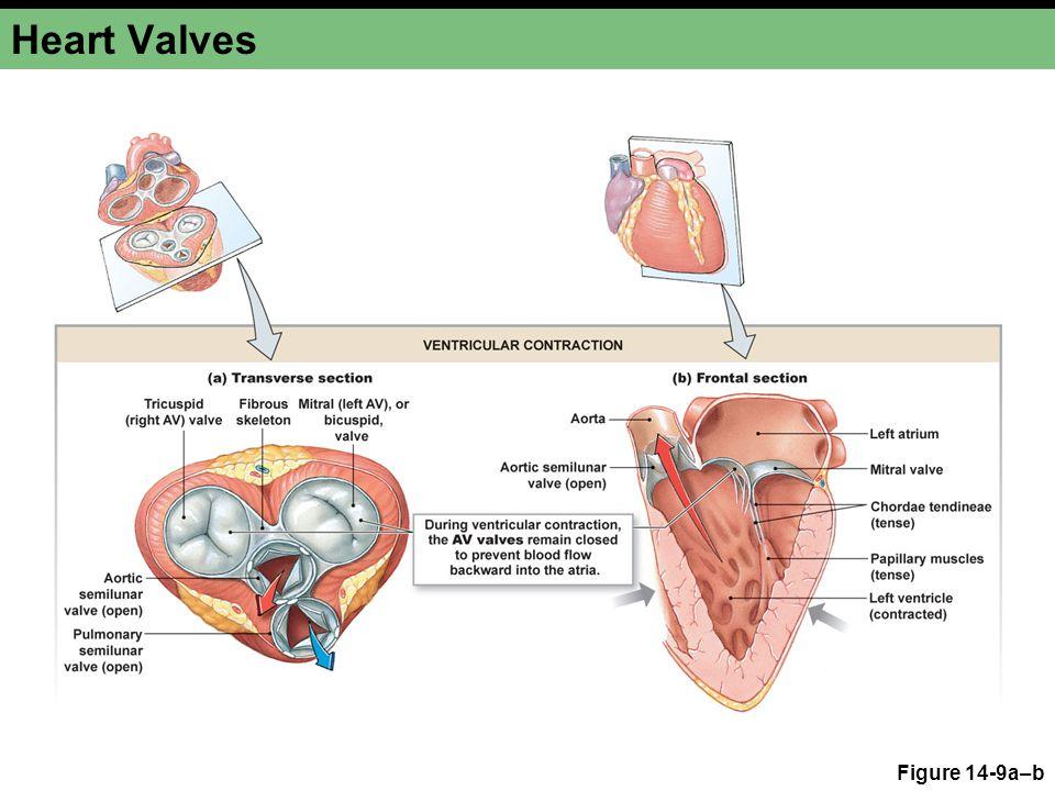 Heart Valves Figure 14-9a–b