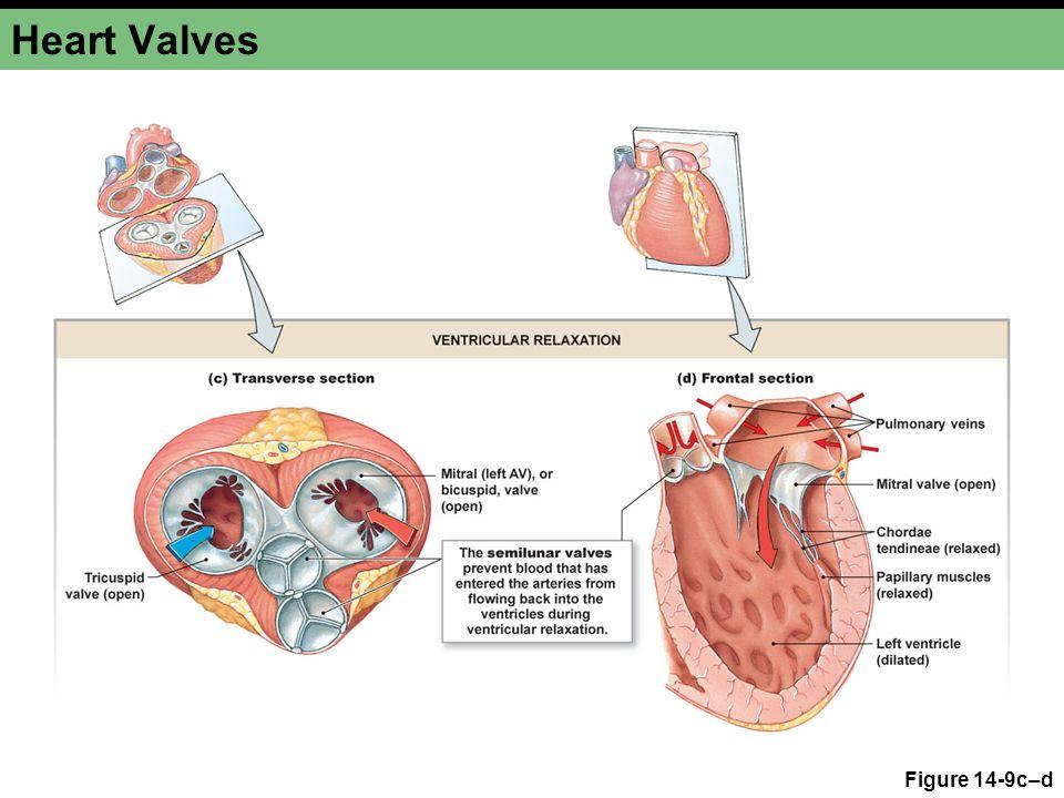 Heart Valves Figure 14-9c–d