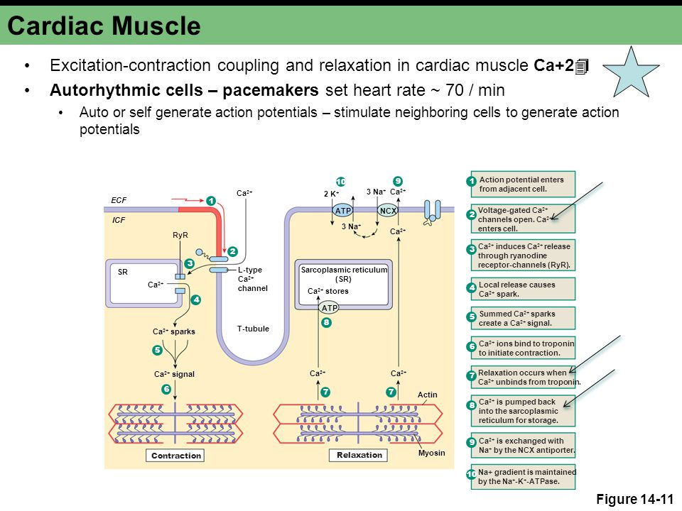 Cardiac Muscle Excitation-contraction coupling and relaxation in cardiac muscle Ca+2  Autorhythmic cells – pacemakers set heart rate ~ 70 / min Auto