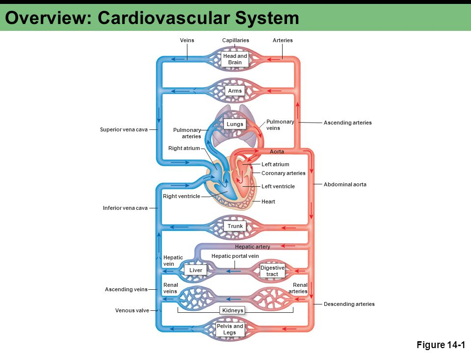 Overview: Cardiovascular System Figure 14-1 Ascending arteries Descending arteries Abdominal aorta Left atrium Left ventricle Heart Right ventricle Re