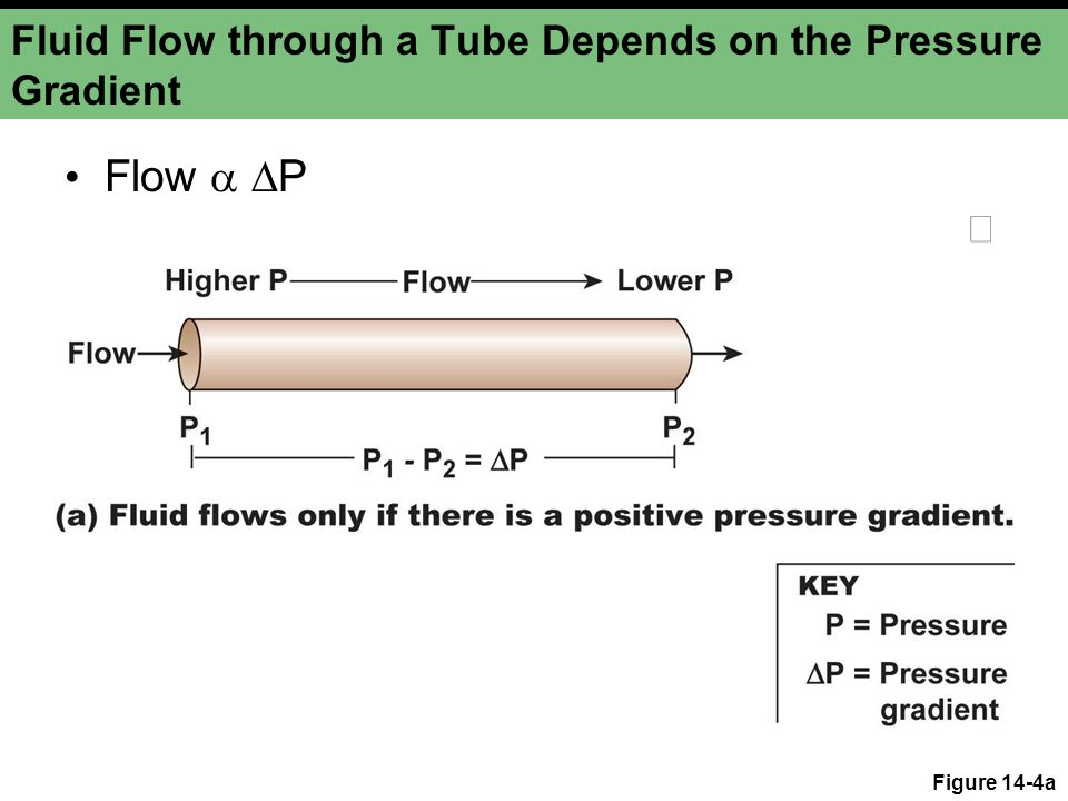 Fluid Flow through a Tube Depends on the Pressure Gradient Figure 14-4b