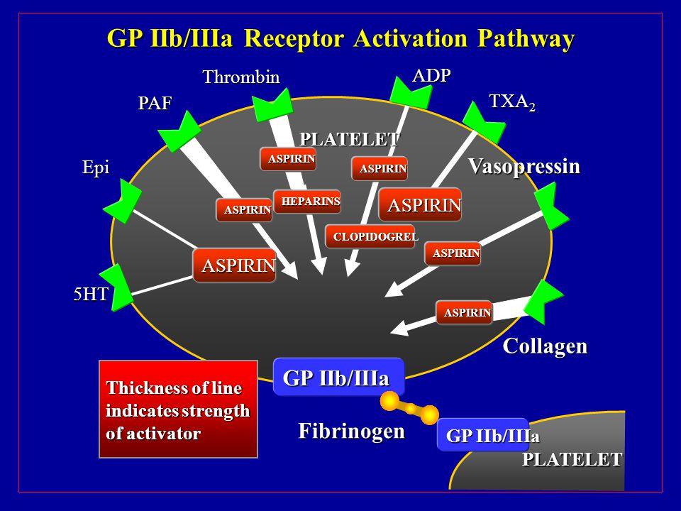 GP IIb/IIIa Receptor Activation Pathway ASPIRIN ASPIRIN HEPARINS ASPIRIN ASPIRIN ASPIRIN ASPIRIN GP IIb/IIIa Thickness of line indicates strength of activator 5HT PAF Epi Thrombin ADP TXA 2 ASPIRIN Vasopressin Collagen Fibrinogen PLATELET PLATELET CLOPIDOGREL