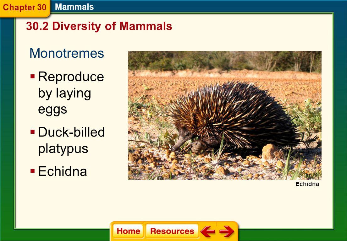 Mammal Classification  Monotremes 30.2 Diversity of Mammals Mammals  Marsupials  Placental mammals Chapter 30