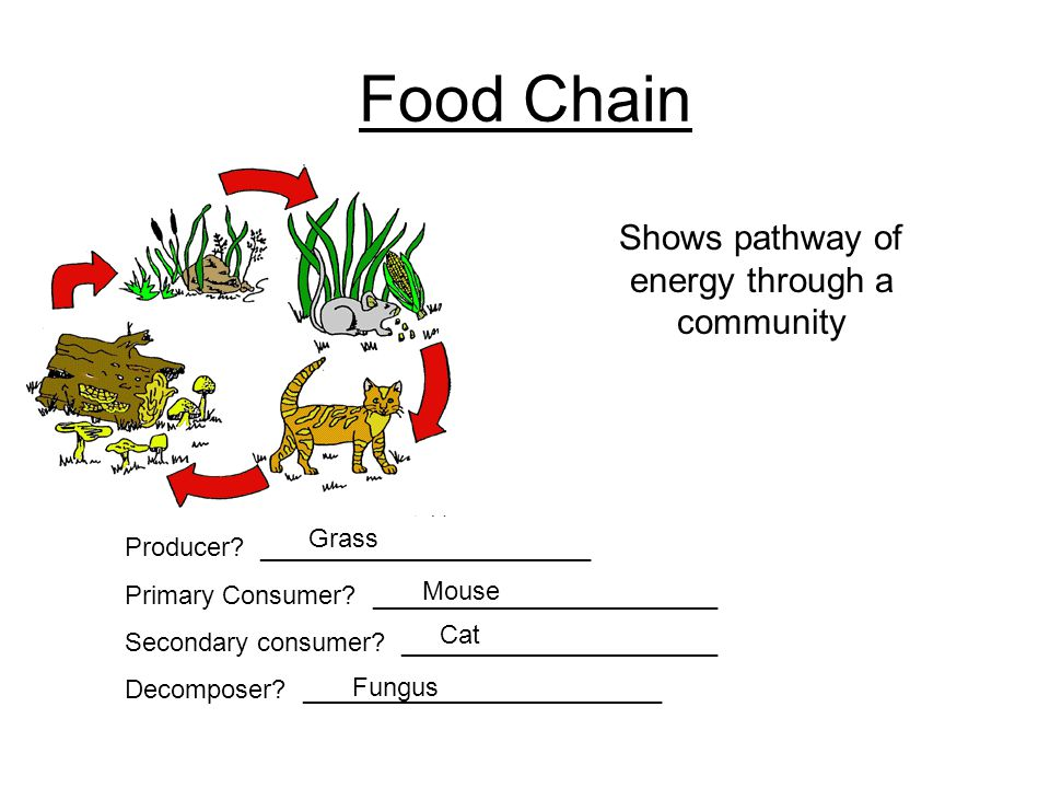 Food Chain Producer? _______________________ Primary Consumer? ________________________ Secondary consumer? ______________________ Decomposer? _______