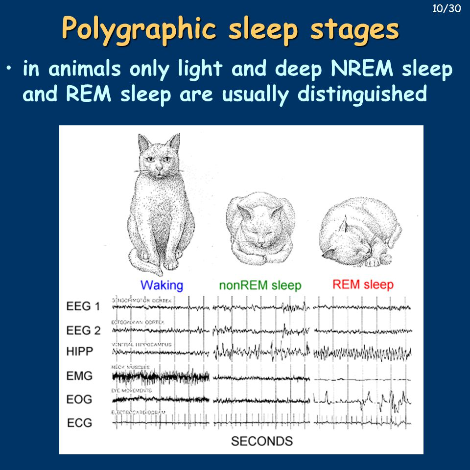 Polygraphic sleep stages in animals only light and deep NREM sleep and REM sleep are usually distinguished 10/30
