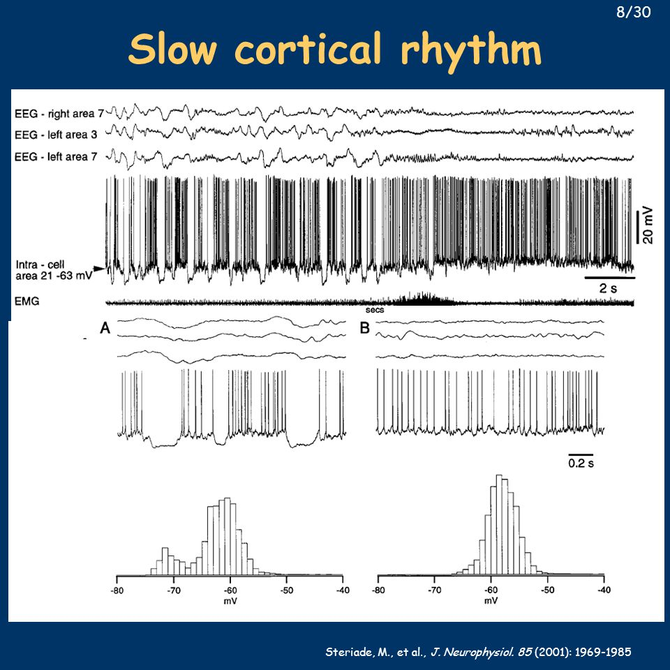 Steriade, M., et al., J. Neurophysiol. 85 (2001): 1969-1985 Slow cortical rhythm 8/30