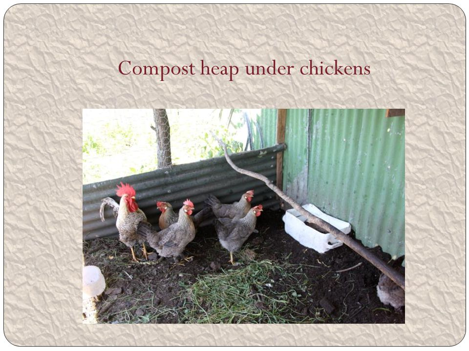 Compost heap under chickens