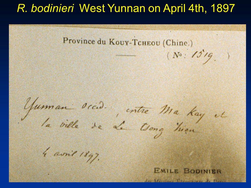 R. bodinieri West Yunnan on April 4th, 1897