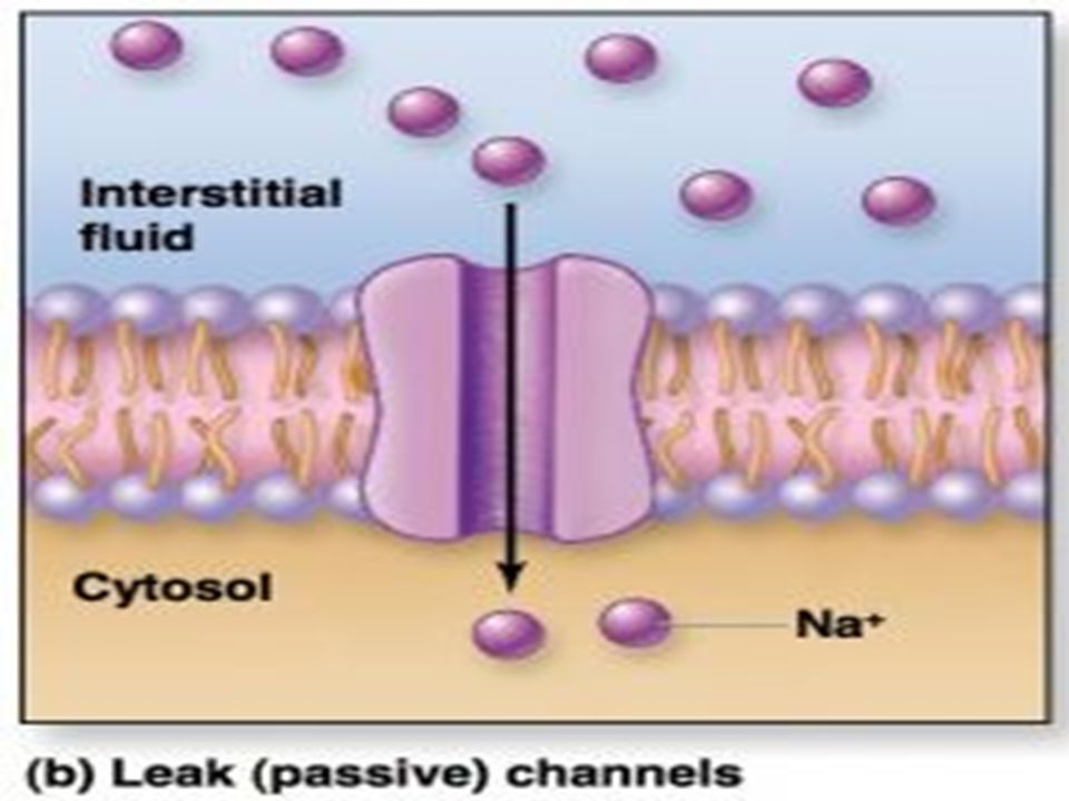 Action potential A rapid change in the membrane potential.