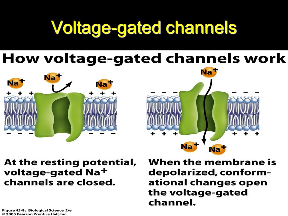 When the membrane potential becomes less negative than during the resting state, rising from -90 toward 0, it finally reaches a voltage – usually between -70 and -50 – that cause a sudden conformational change in the activation gate, flipping it all the way to the open position.This is called the activated state, during this state, Na+ ions pour inward through the channel increasing the Na+ permeability of the membrane as much as 500-to 5000-fold.