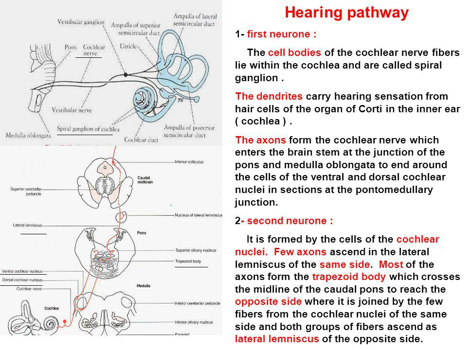 Hearing pathway 1- first neurone : The cell bodies of the cochlear nerve fibers lie within the cochlea and are called spiral ganglion. The dendrites c