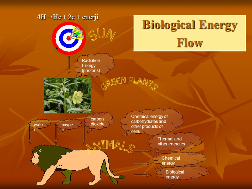Radiation Energy (photons) wate r oxyge n carbon dioxide Chemical energy of carbohydrates and other products of cells Thermal and other energies Chemical energy Biological energy Biological Energy Flow 4H→He + 2e + enerji 4H→He + 2e + enerji
