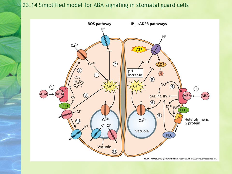 23.14 Simplified model for ABA signaling in stomatal guard cells