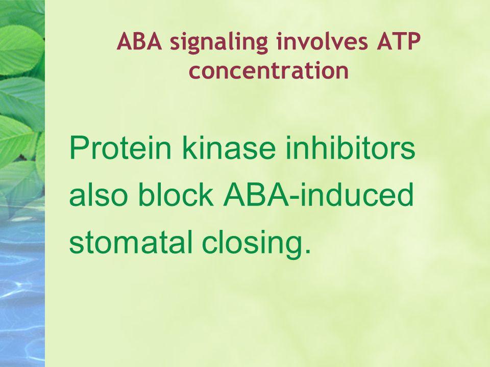 ABA signaling involves ATP concentration Protein kinase inhibitors also block ABA-induced stomatal closing.