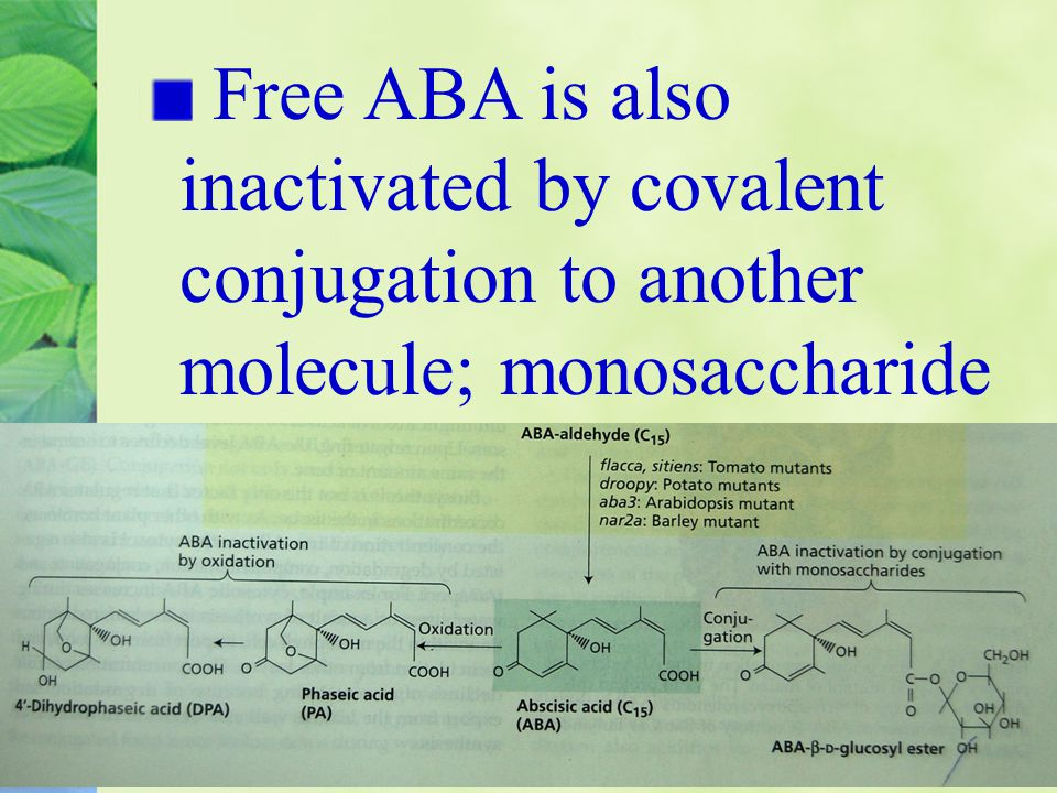 Free ABA is also inactivated by covalent conjugation to another molecule; monosaccharide