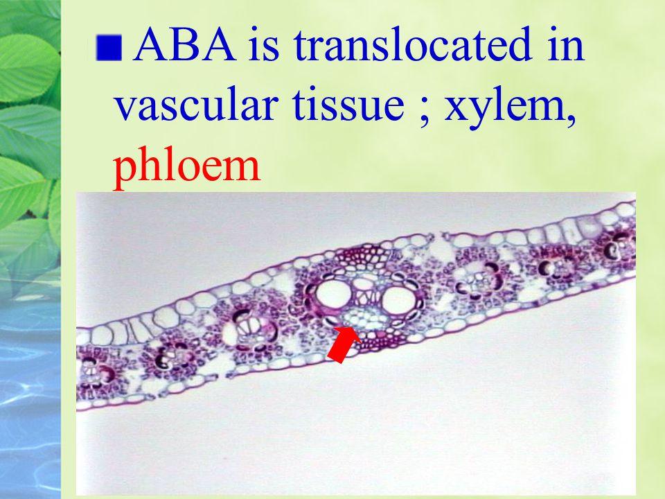 ABA is translocated in vascular tissue ; xylem, phloem