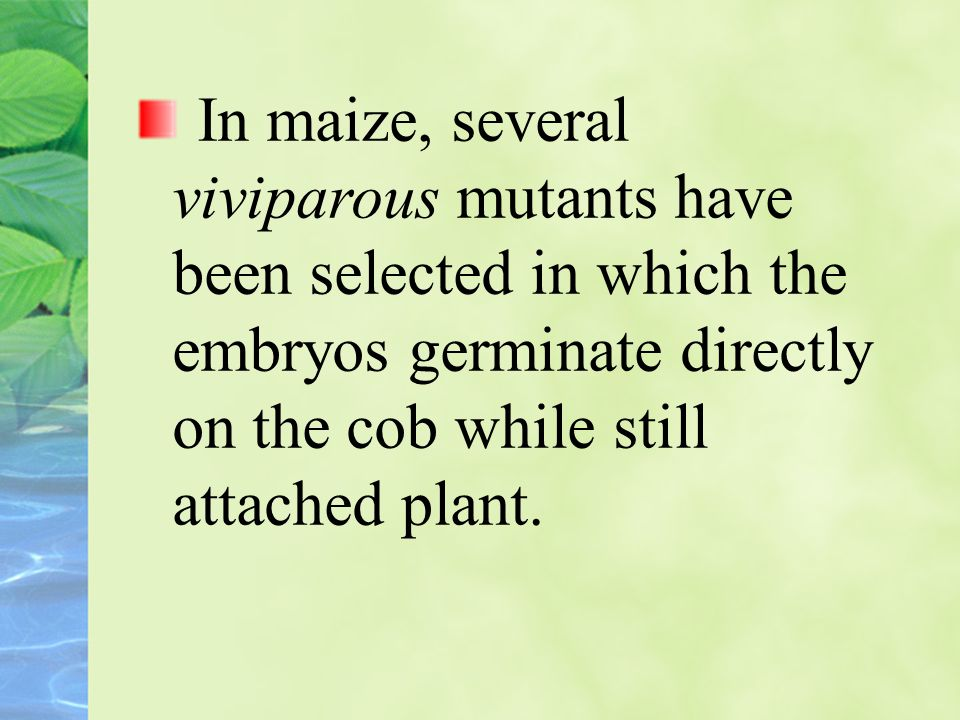 In maize, several viviparous mutants have been selected in which the embryos germinate directly on the cob while still attached plant.