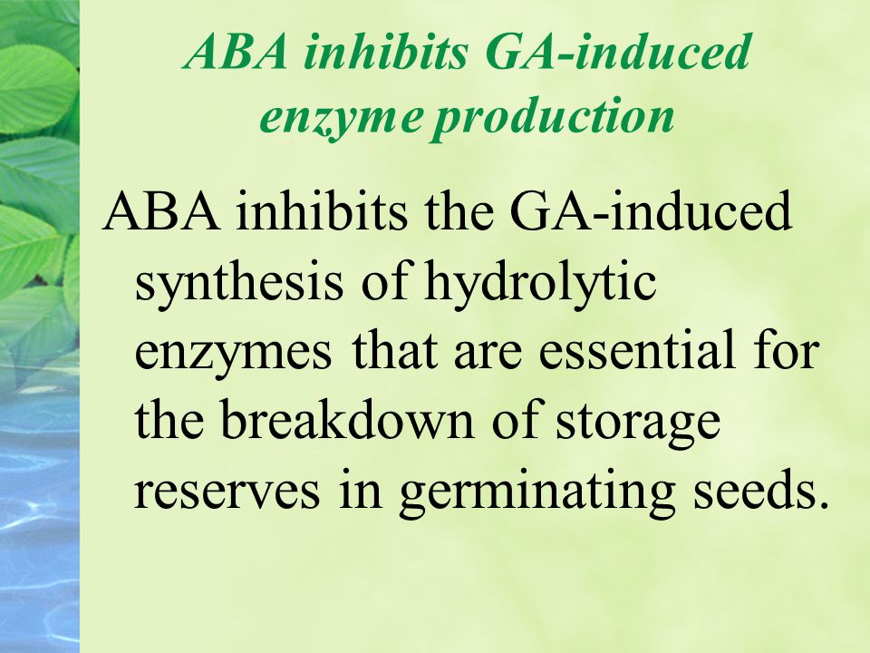 ABA inhibits GA-induced enzyme production ABA inhibits the GA-induced synthesis of hydrolytic enzymes that are essential for the breakdown of storage