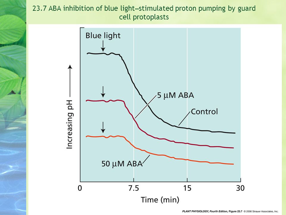 23.7 ABA inhibition of blue light – stimulated proton pumping by guard cell protoplasts