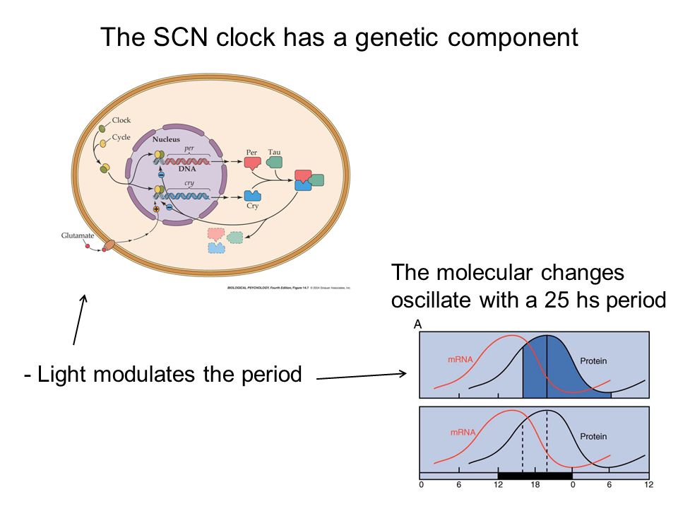 The SCN clock has a genetic component - Light modulates the period The molecular changes oscillate with a 25 hs period