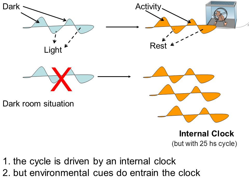 Internal Clock (but with 25 hs cycle) Dark room situation X Dark Light Rest Activity 1. the cycle is driven by an internal clock 2. but environmental