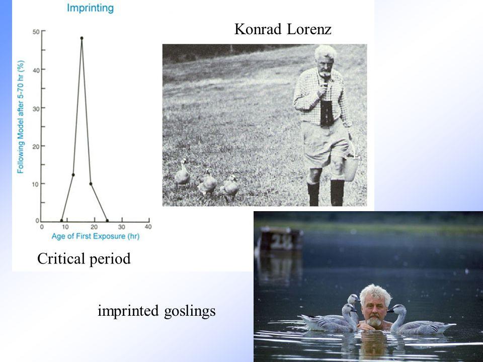 Konrad Lorenz imprinted goslings Critical period
